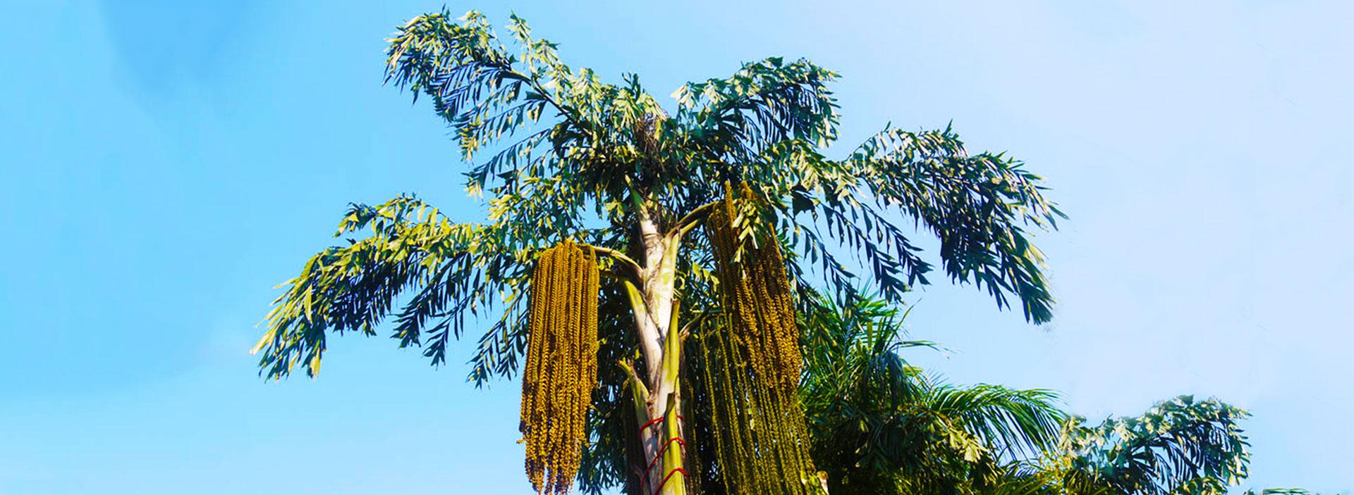 Kithul Tree Flower